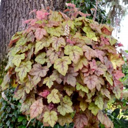 Mature Heucherella Redstone Falls plant in hanging basket