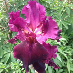 Picture of Company Red Iris flower