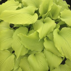 Picture of mature Hosta Dancing Queen plant