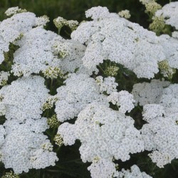 flowers on this yarrow plant at Walters Gardens
