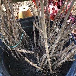 sample plants in bundles of 25