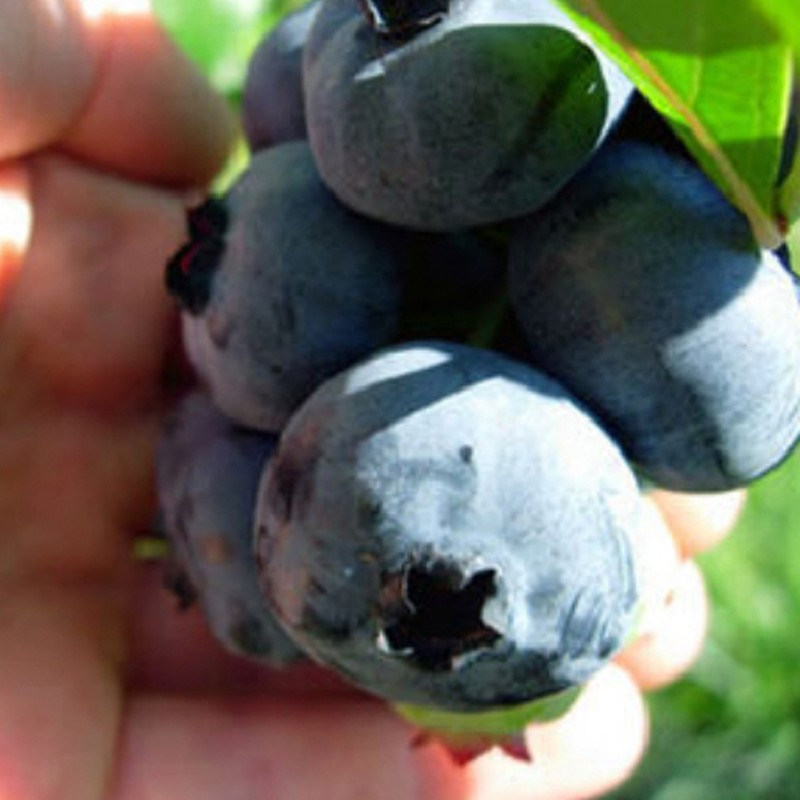 harvested blueberries