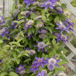 Picture of mature Clematis on trellis