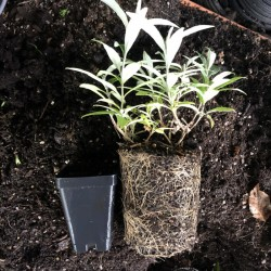 Quart size next to a 3.5 inch pot