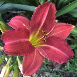 picture of the flower of this daylily