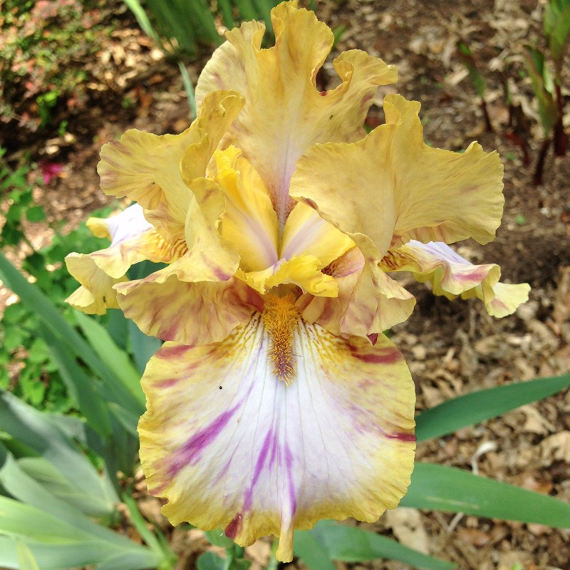 picture of this iris variety in our garden