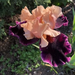 picture of this iris variety flower in our garden