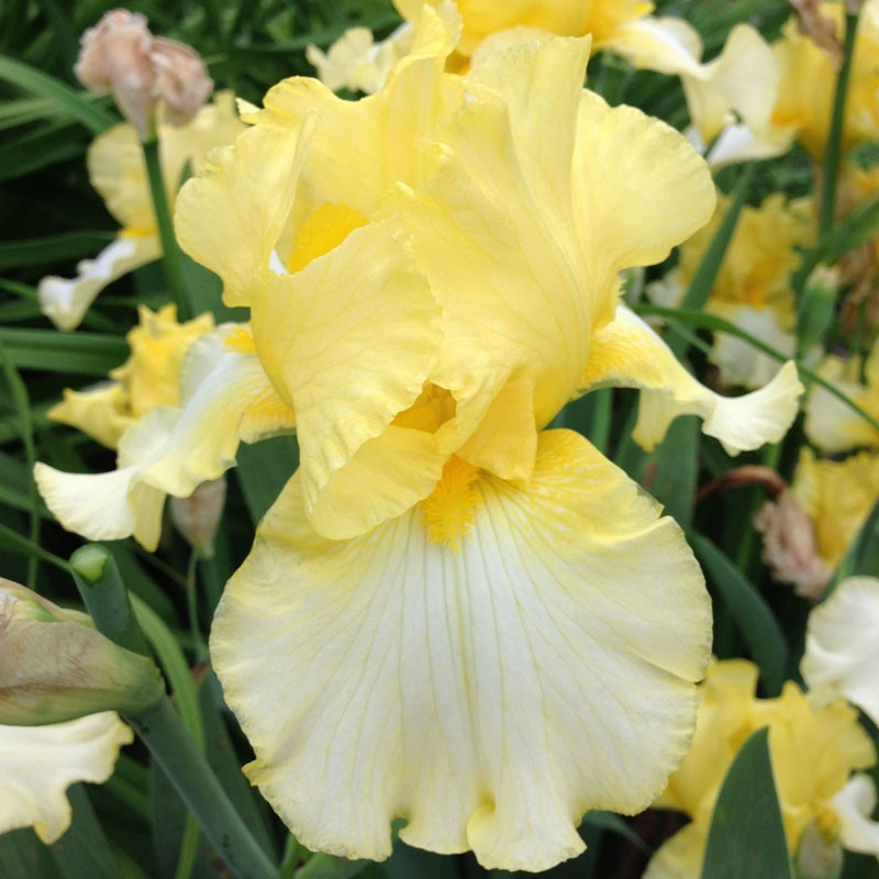 Picture of the flower of this Iris variety