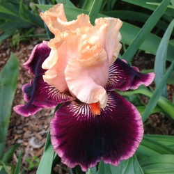 picture of this iris variety flower
