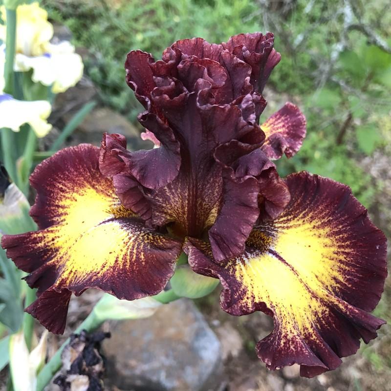 Picture of Iris flower