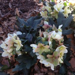 Picture of Helleborus Winter's Bliss in our garden