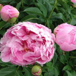 Flower of Mons. Jules Elie