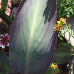 Picture of Canna Bird of Paradise Leaf