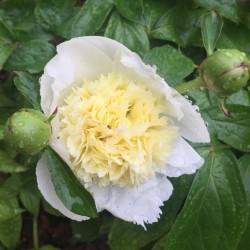 Picture of Peony Laura Dessert Flower