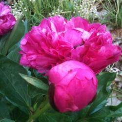 Flower of Peony Kansas