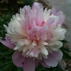 Peony Sorbet Flower in our garden