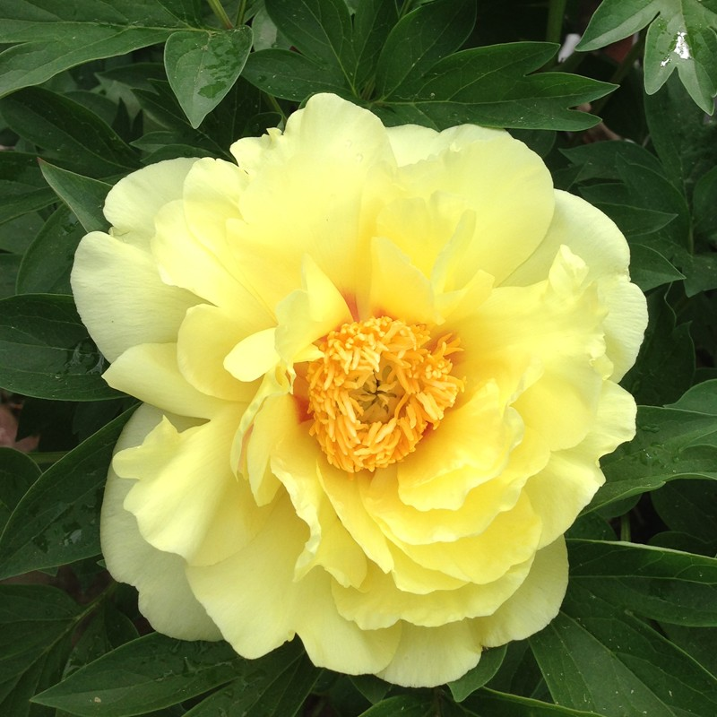 Picture of Peony Bartzella Flower