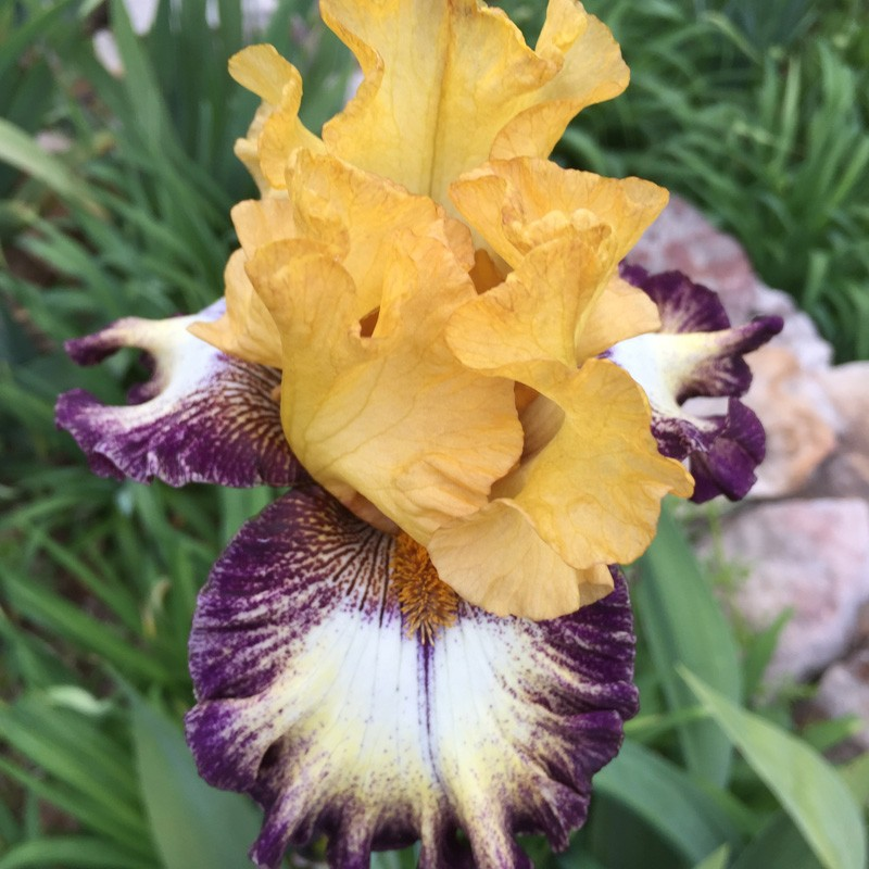 Flower picture of this iris variety Iris