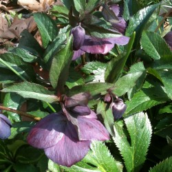 Picture of Helleborus Blue Lady Flowers
