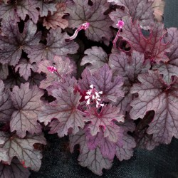 Close-up picture of Heucherella Plum Cascade foliage
