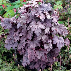 Picture of mature Heucherella Plum Cascade Plant in the garden