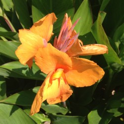 picture of Canna Tropical Sunrise Flower
