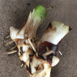Sample of canna rhizome