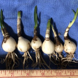 Picture of 6 medium size sample bulbs