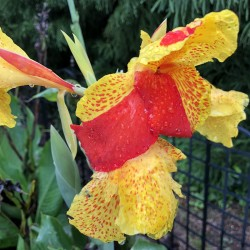 Picture of Canna Cleopatra Flower