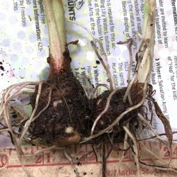 Picture of Colocasia Bulb