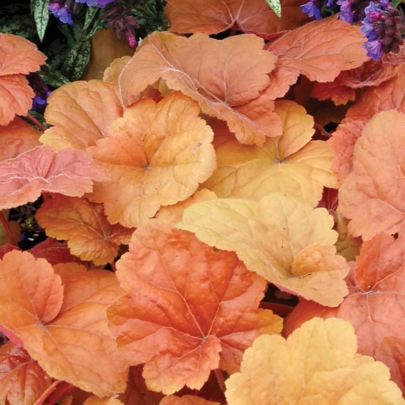 Close-up picture of Heuchera Southern Comfort foliage