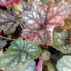 Close-up picture of Heuchera Regina foliage