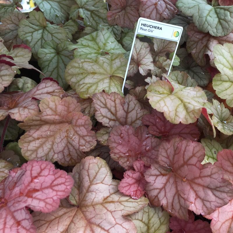 Close-up picture of Heuchera Pinot Gris foliage
