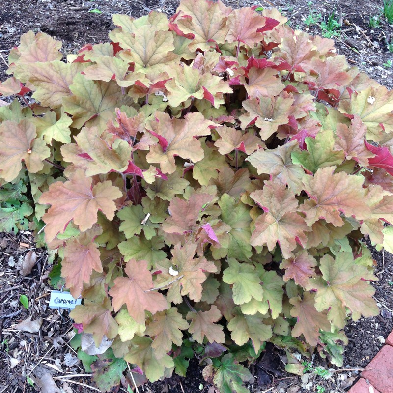 Picture of Heuchera Caramel mature plant with spring foliage