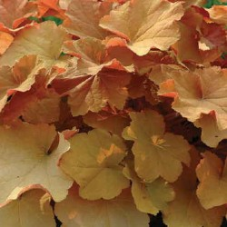 Close-up picture of Heuchera Caramel foliage
