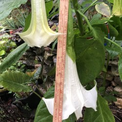Picture of Brugmansia Supernova Flowers
