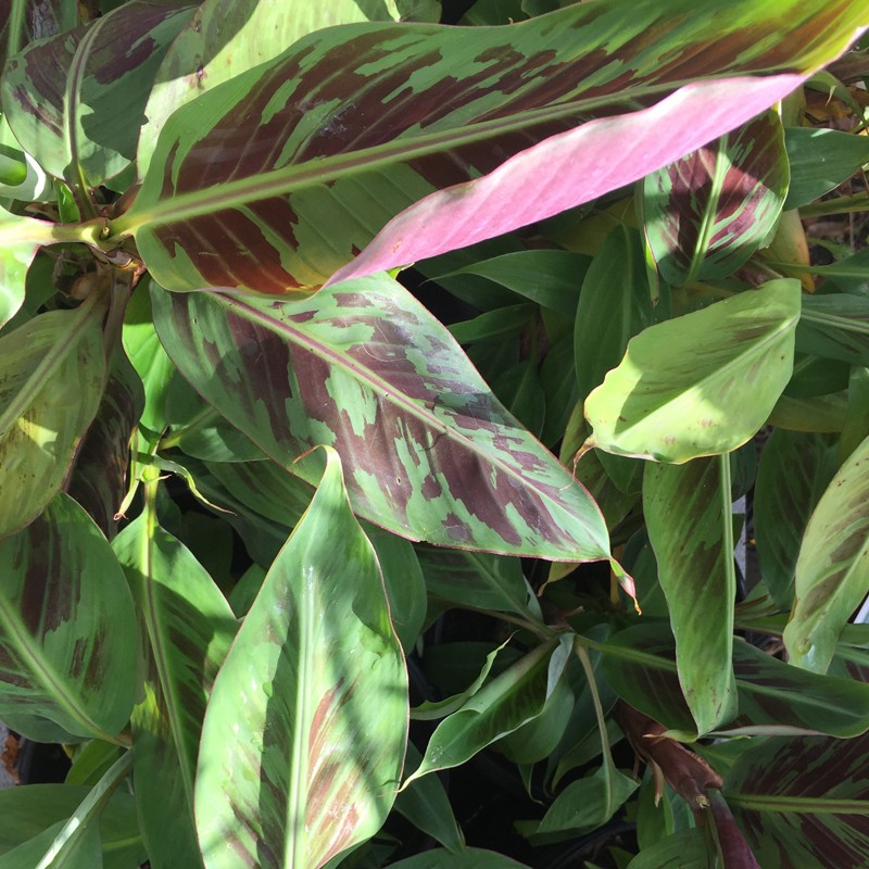 Picture of Bloodleaf Banana Plant Leaves