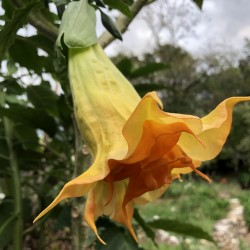 Pictures of Brugmansia Sahmadi Flowers