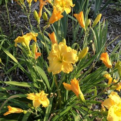 Picture of this variety daylily established clump
