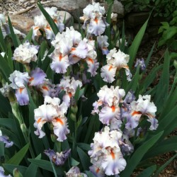 established clump picture of this Iris variety