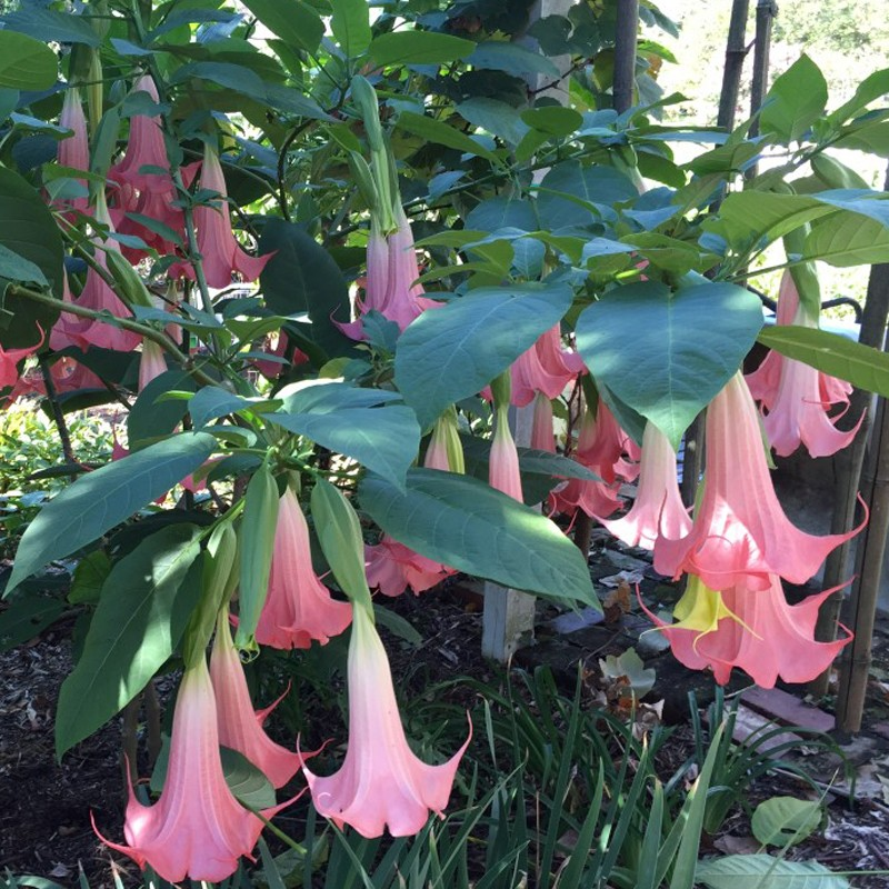 Picture of Brugmansia Painted Lady Flowers