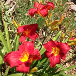 Established clump picture of this variety daylily flowers