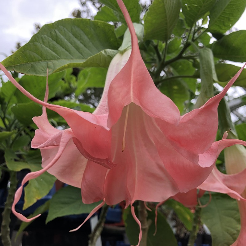 Picture of Brugmansia Ima Ten Flower