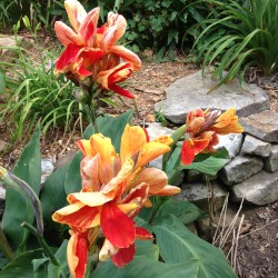 Picture of Canna Rosemond Cole Flower