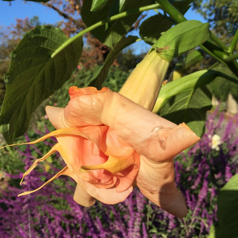 Picture of Brugmansia Miss September Flowers