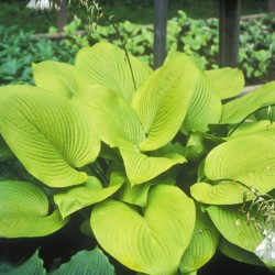 Close-up picture of Hosta Key West foliage