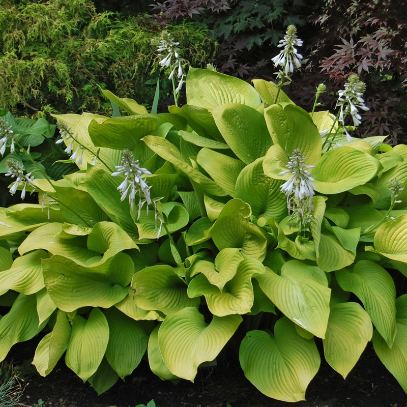 Picture of mature Hosta Key West  plant