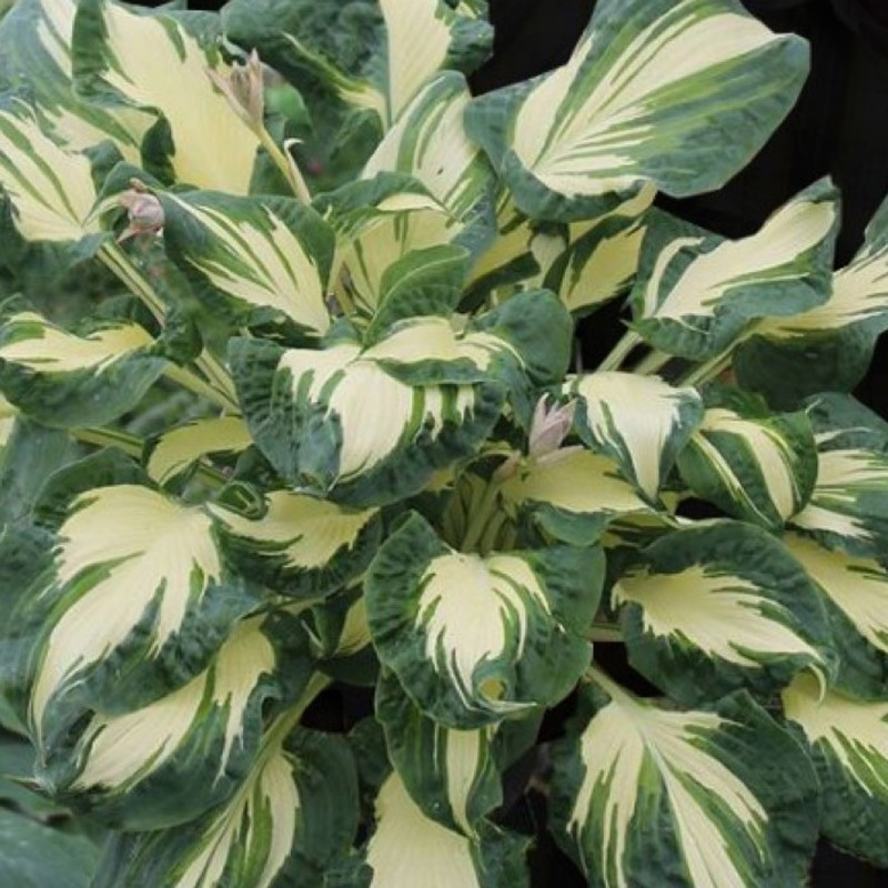 Picture of mature Hosta Hans  plant