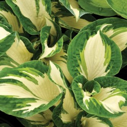 Close-up pictures of Hosta Hans foliage