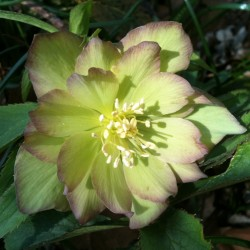 Picture of Helleborus First Dance Flowers